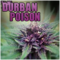 durban poison feminzied cannabis seeds