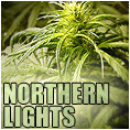 northern lights feminized marijuana seeds