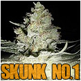 skunk feminized marijuana cannabis seeds